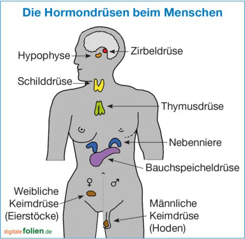 Hormondruesen Beim Menschen