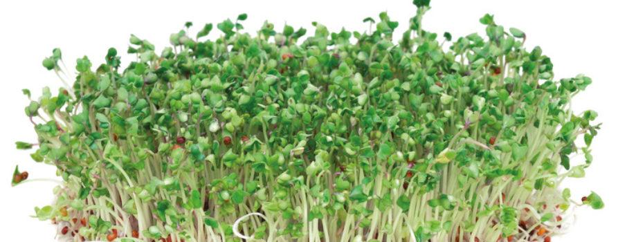 Broccolisprossen