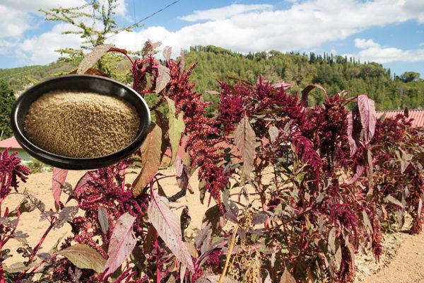 Amarant-Pflanze und Körner