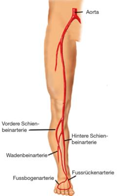 Abb. 4: Gefässanatomie des Beines. Abb. © yoursurgery.com – Arteries of the leg. © J. Norah