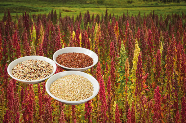 Quinoa-Pflanze und Körner