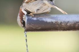 Spatz sitz auf Rohr und trinkt Wasser